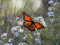 Illuminated Monarch Butterfly (donsutherland1) Tags: flowers autumn light sun ny newyork fall nature sunshine butterfly insect october o illuminated papillon monarch migration soe migrating monarchbutterfly mamaroneck topshots hommocks monarchmigration flickraward platinumheartaward natureselegantshots updatecollection virgiliocompany hommocksconservationarea mygearandmepremium mygearandmebronze mygearandmesilver mygearandmegold flickrsportal mygearandmeplatinum mygearandmediamond migratingmonarch