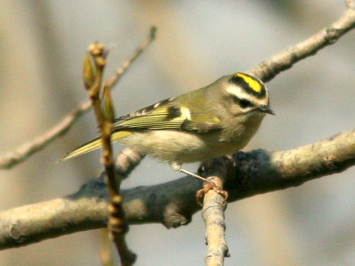 Golden-crowned Kinglet 20100115