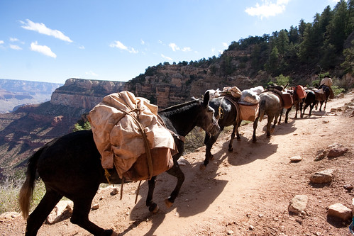 Pack Mules on the Grand Canyon's Bright Angel Trail