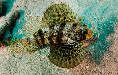 Hawaiian Green Lionfish