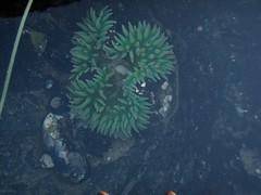 Anenome (dandlymambly) Tags: ocean autumn fall beach oregon coast october underwater hiking tidepools tidal 2010
