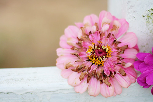 an especially pretty zinnia