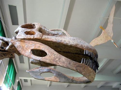 Crânio de Argentinossauro.