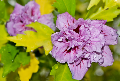 Hibisco bajo la lluvia / Hibiscus in the rain