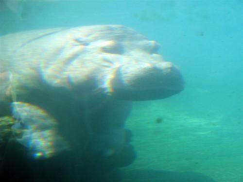 Sim, dá pra ver o hipopótamo mesmo dentro d'água.