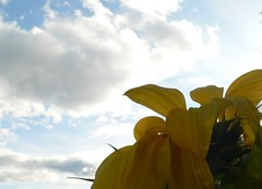 Towards Heaven (tifranta) Tags: sky fallleaves leaves mi cemetary insects sunflower closeups marquette communitygarden nasturtium macrophotograph