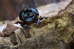 scarabeo cornuto  - Caronia 2010 (Pino Grasso photography) Tags: parco macro up foto close pino dei insetto monti scarabeo grasso nebrodi coleotteri coleottero cornuto caronia ravvicinata