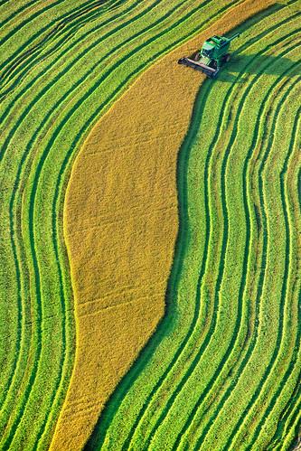 Rice Harvest near Marysville