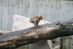 Mantelpavian / sacred baboon