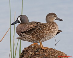 Blue Wing Teal Mated Pair On Palm Root Viera Wetlands (kevansunderland) Tags: birds duck florida teal ngc puddleduck floridawildlife bluewing bluewingedteal birdphotography migratorybirds supershot vierawetlands migratoryduck