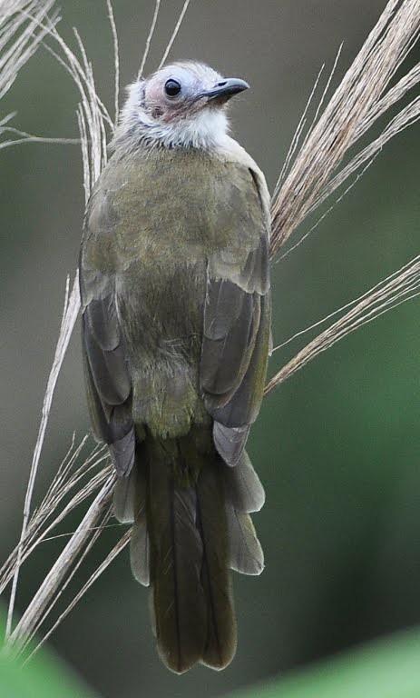 Kailgalvas bulbuls (Pycnonotus Hualon) 3