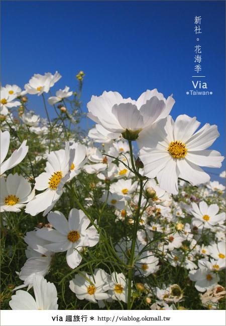 【2010新社花海】via帶大家欣賞全台最美的花海!22