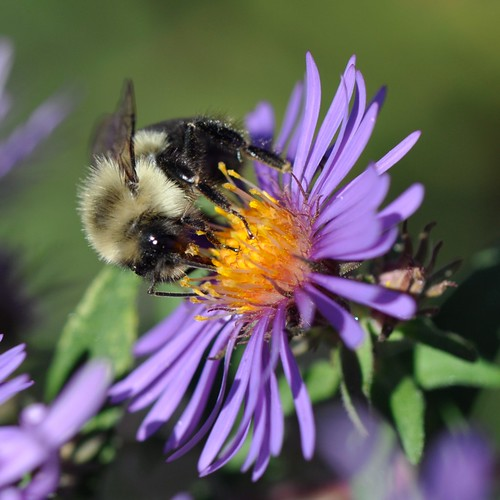 Mine... all mine... Bee in Asters... October, 2010