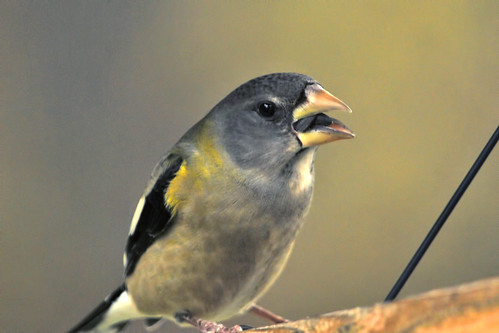 evening grosbeak mouthful