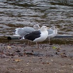 Gulls thumbnail