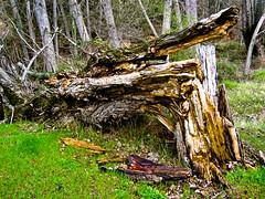Hacer leña del árbol caido. por Jesús Celma :-)) :-))