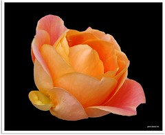 Herbstrose - autumn rose