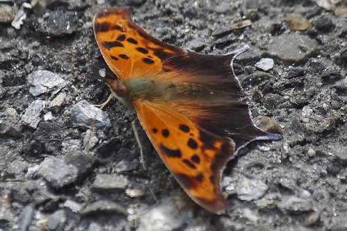 Question Mark Butterfly (45)