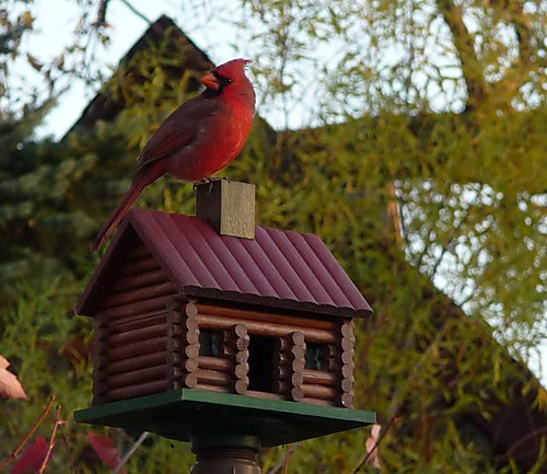 Cardinal on log cabin bird house