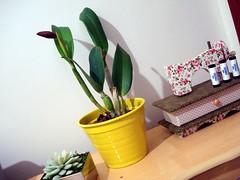 Com botão (Flor do Céu) Tags: orquidea decoração orquideas vasosdeplanta