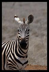 If I stay still...maybe he won't see me... (Grievous247) Tags: africa portrait nature kenya wildlife safari zebra amboseli nbw sonya700 sal70400g