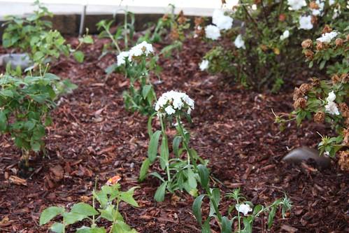 Bouquet Dianthus
