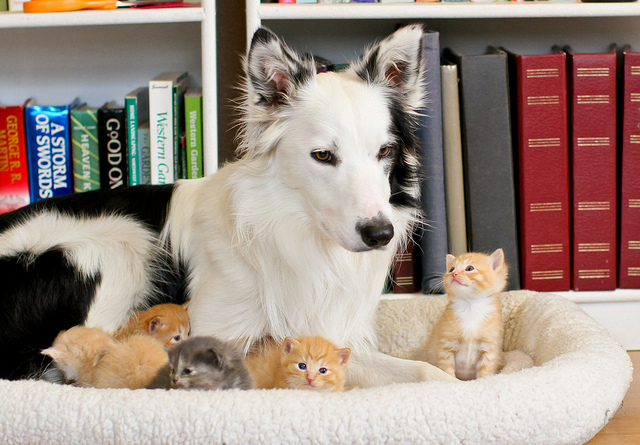 cute kittens and border collie dog