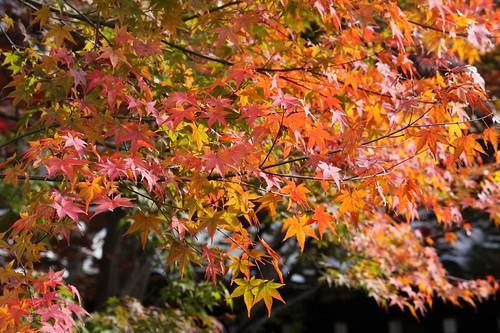 陽に照らされて・・・Maple leaves