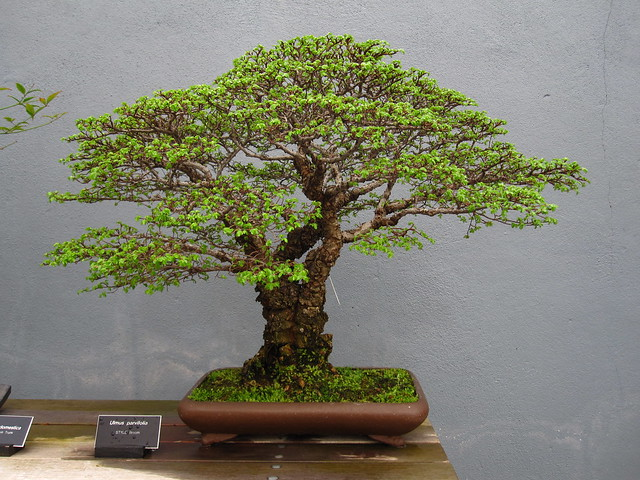 <em>Ulmus parvifolia</em> in broom style. Photo by Rebecca Bullene.&#8221; /></a></p> <div><em>Ulmus parvifolia</em> &#105;&#110; broom style. Photo &#98;&#121; Rebecca Bullene.</div> </div> </div> </div> </div> </div> <div> <div><img src=