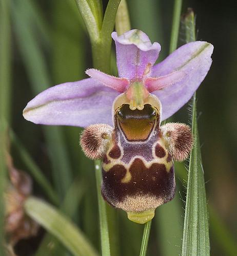 Ophrys scolopax? et errances taxinomiques - Page 2 5188183835_cf44212267