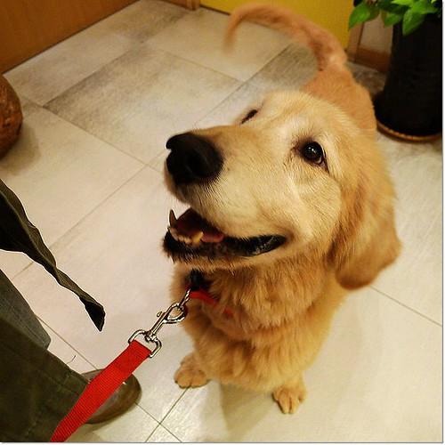 「支援」新竹從內湖收容所安樂死前救出的腫瘤黃金獵犬~懇請贊助醫療資源,也徵助認養喔~謝謝您!20101119