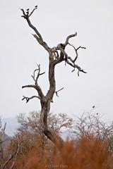 Martial Eagle (hannes.steyn) Tags: africa nature birds animals fauna canon southafrica eagle wildlife predator reserves madikwe birdlife madikwegamereserve martialeagle polemaetusbellicosus northwestprovince 550d canonef70300mmf456isusm hannessteyn brekoparend canon550d eosrebelt2i