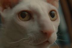 #ds38 - Cat's Eye (Sharon Drummond) Tags: white cat eyes cornishrex dailyshoot ds38