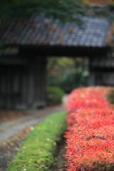 Lead to the Gate (Apricot Cafe) Tags: japan f28 tokyo yakushiikepark autumnleaves japanesemaple canonef100mmf28lmacroisusm
