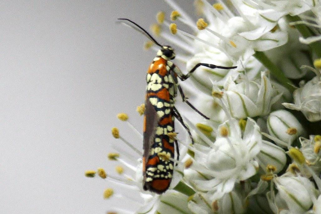 Ailanthus Webworm Moth  12
