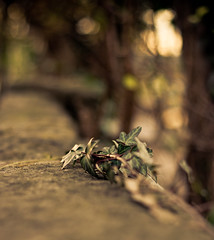 Ivy (Frau Bb (buuusyyyy)) Tags: light nature licht dof bokeh natur dream ivy hedera efeu traum