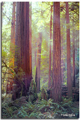 Light through Redwood (TouchByPhoto) Tags: california nature forest marincounty 4x5 nationalparks largeformat touristattraction coastredwood sequoiasempervirens arcaswiss rgbcolor kodakccd muirwoodnationalmonument xenotar150mm