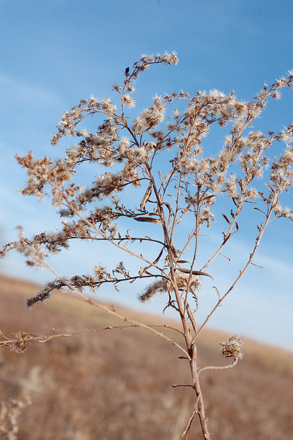 Broemmelsiek Park, in Saint Charles County, Missouri, USA - seed head against blue sky