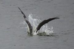 Brown Pelican-IMG_9626-Alviso-crop (gimlack) Tags: birds brownpelican pelecanusoccidentalis 100400 alvisocalifornia