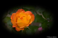 Rose - Forever Amber (Bernzfotos - Bernard Golder Photography) Tags: flowers newzealand roses plants sun flower nature leaves sunshine rose garden petals flora nikon nz wellington nikkor d300 nouvellezlande wellingtoncity masterphotos wellingtonnz nikond300 nikkorvr18105mmf35 bernzfotos