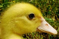 Anatroccolo (duckling) (dClaudio [homofugit]) Tags: macro duck duckling closup jellow littleduck mygearandmepremium mygearandmebronze mygearandmesilver mygearandmegold mygearandmeplatinum mygearandmediamond