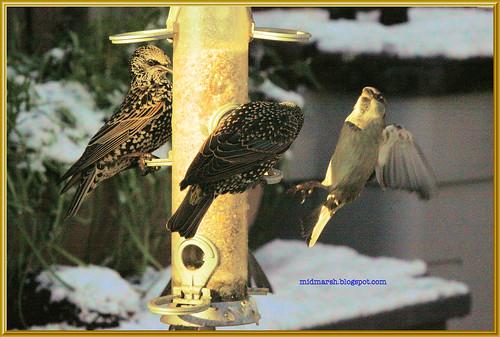 Starlings 3