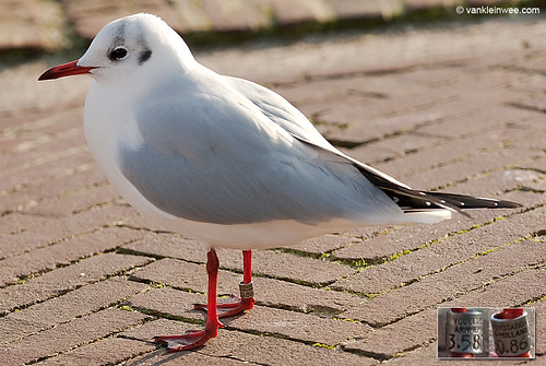 Black-headed Gull, adult, ex Y[2.M]