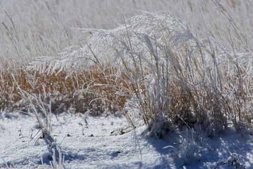 Frosty Grasses 4
