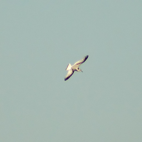 Black-Legged Kittiwake 5