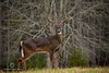 Whitetail Buck in the Smokey Mountains (Randy Nyhof Photography) Tags: winter mountains male cove tennessee great deer antlers rack smokey buck whitetail cades