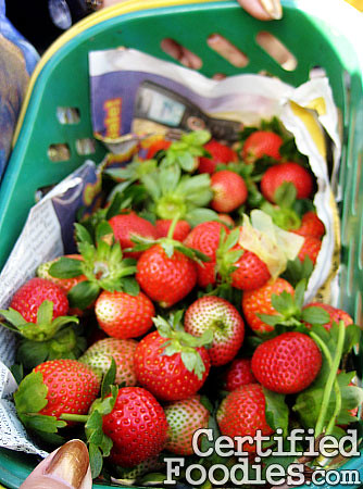 The strawberries we picked from the Strawberry Farm in Baguio - CertifiedFoodies.com