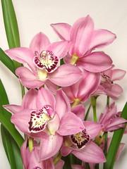 Cymbidium Orchidee (blumenbiene) Tags: flowers plant orchid flower pot orchidee cymbidium blüten bumentopf