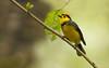Collared Redstart (steve whiteley) Tags: bird birdphotography costarica animal wildlife wildlifephotography nature collaredredstart myioborustorquatus