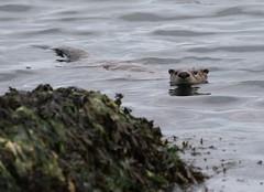 North American River Otter swimming towards rocks (Paul Cottis) Tags: paulcottis vancouverisland 18 may 2017 mammal otter oakbay victoria upland